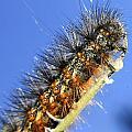 Salt Marsh Caterpillar by Scott Hovind