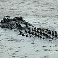 Salt Water Crocodile 3 by Bob Christopher