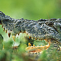 Saltwater Crocodile Crocodylus Porosus by Cyril Ruoso