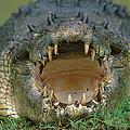 Saltwater Crocodile Crocodylus Porosus by Jean-Paul Ferrero