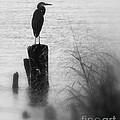 Saltwater Sentry by  Beth Phifer