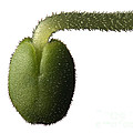 Salvia Polystachya Sprout by Raul Gonzalez Perez