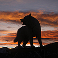 Samoyed At Sunset by Kent Dannen and Photo Researchers