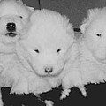 Samoyed Puppies by Tammy Sutherland