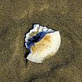 Sand Dollar by Steve McKinzie
