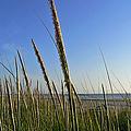 Sand Dune Grasses by Pamela Patch