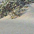 Sand Dune Greenery by Pamela Patch
