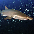 Sand Tiger Shark Off The Coast Of North by Karen Doody