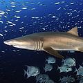 Sand Tiger Shark Swimming In Blue Water by Karen Doody