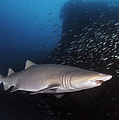 Sand Tiger Shark Swims By The Wreck by Karen Doody