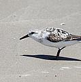 Sanderling On The Beach by Roena King