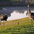 Sandhill Crane Family Fun by Carol Groenen