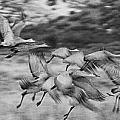 Sandhill Cranes by Bob Ayre