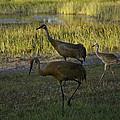 Sandhill Cranes Family by Robert Valentine