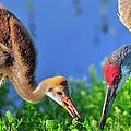 Sandhill Cranes Having Breakfast by Bill Dodsworth