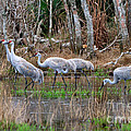 Sandhill Cranes In The Winter Marsh by Louise Heusinkveld