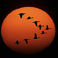 Sandhill Cranes Silhouetted by Michael Melford