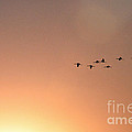 Sandhill Cranes To The Sun by David Arment