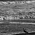 Sandpiper In The Surf Hc by Philip Osterkamp