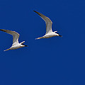 Sandwich Terns by Tony Beck