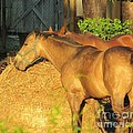 Sandy Eating Hay by Michelle Powell