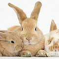 Sandy Rabbit And Babies by Mark Taylor