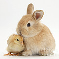 Sandy Rabbit And Yellow Bantam Chick by Mark Taylor