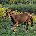 Sandy The Roan - C0058b by Paul Lyndon Phillips