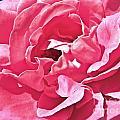 Sandys Pink Rose Frills by Tisha Clinkenbeard