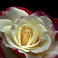 Sarah's Rose by Benanne Stiens