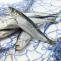 Sardines With Fishnet On White Background by Westend61