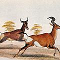 Sassaby And Hartebeest, by Granger