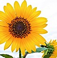 Sassy Sunflower by Elizabeth Budd