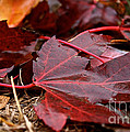 Saturated Maroon by Susan Herber