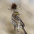 Savannah Sparrow by Angie Vogel