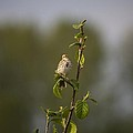 Savannah Sparrow by Martin Cooper