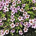 Saxifraga Oppositifolia Flowers by Bob Gibbons