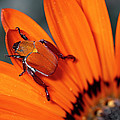 Scarab Beetle On A Guzmania Flower by Michael & Patricia Fogden