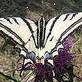 Scarce Swallowtail by Eric Kempson