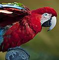 Scarlet Macaw by Amy Jackson