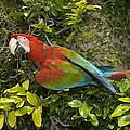 Scarlet Macaw Ara Macao Adult Perching by San Diego Zoo