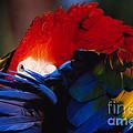 Scarlet Macaw by Bradford Martin