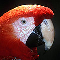 Scarlet Macaw by Larry Allan