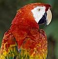 Scarlet Macaw by Tony Camacho
