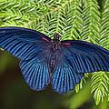 Scarlet Swallowtail by Joann Vitali