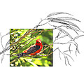 Scarlet Tanager by Andrew McInnes