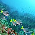 School Of Razor Surgeonfish On Rocky Seabed by Sami Sarkis