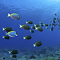 School Of Surgeonfish, Christmas by Mathieu Meur