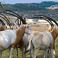 Scimitar-horned Oryx by Ed Gleichman