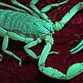 Scorpion Glows In Uv Light Costa Rica by Piotr Naskrecki